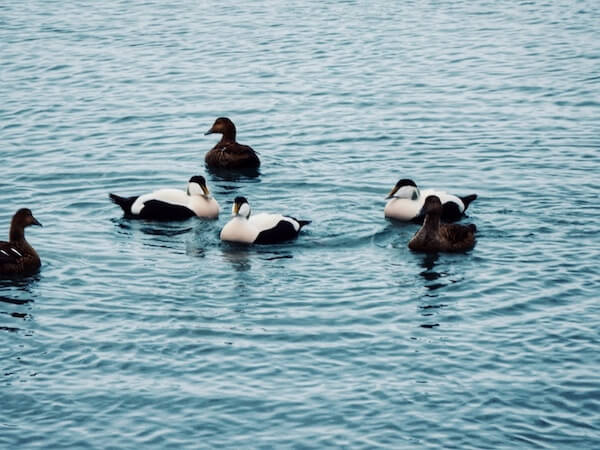 Eider Ducks, Iceland | Moon & Honey Travel