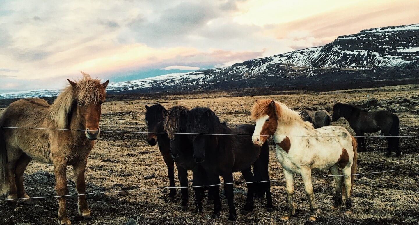 Icelandic Horses, Iceland | Moon & Honey Travel