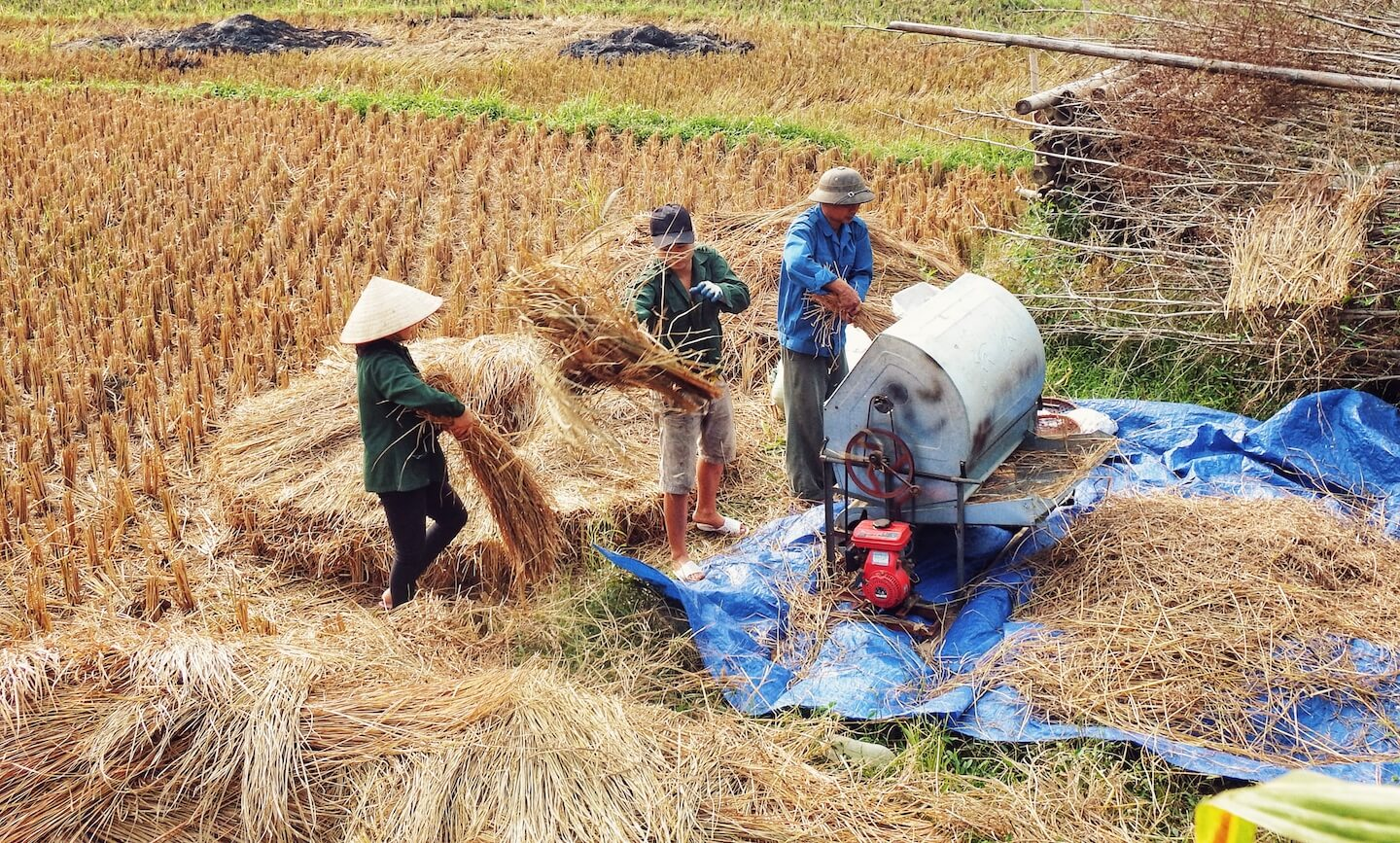 Rice Harvest, Vietnam Travel Guide | Moon & Honey Travel