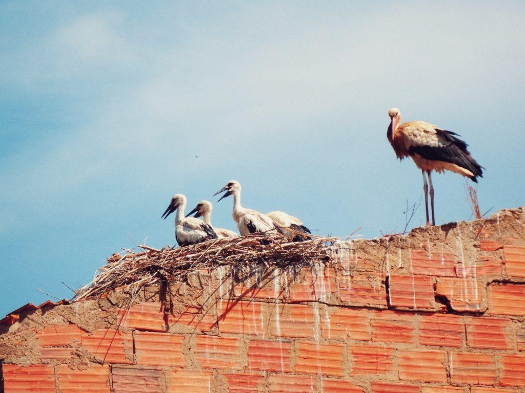White Storks in Silves, Algarve, Portugal