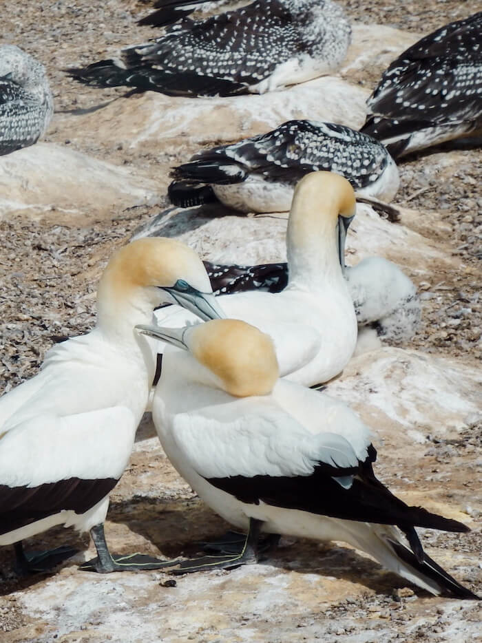 Paired Gannets, Cape Kidnappers, New Zealand | Moon & Honey Travel