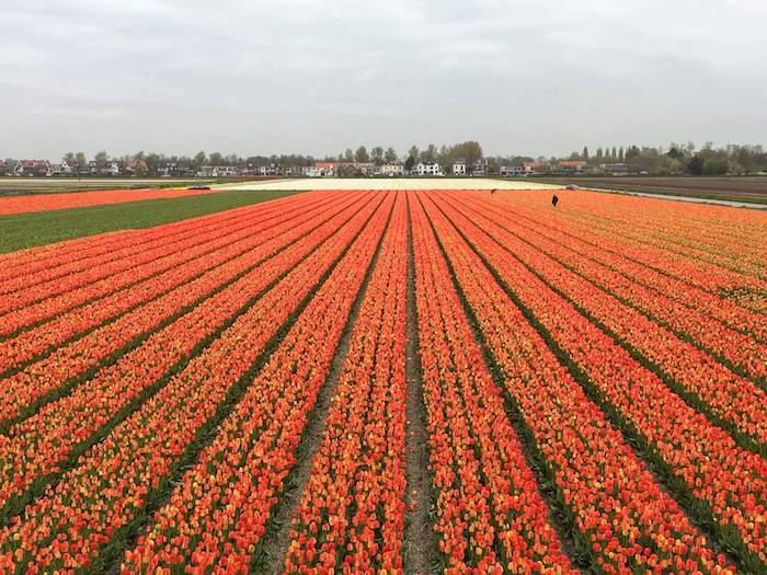 Lisse Tulip Fields, Lisse Travel Guide | Moon & Honey Travel