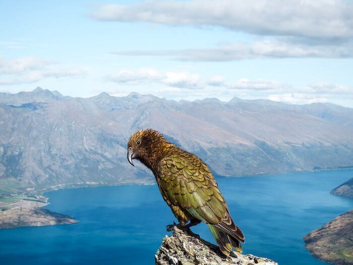 Kea perched on a rock at the Ben Lomond Summit