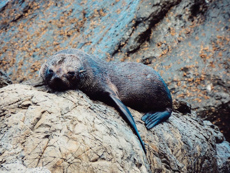 Seal Colony, North Island Itinerary, New Zealand | Moon & Honey Travel