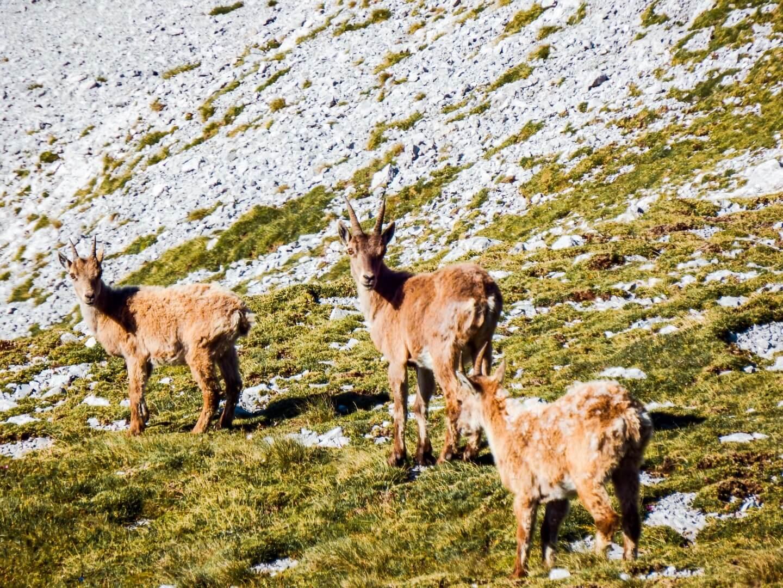 Alpine Ibex, Hochschwab Mountains, Styria, Austria