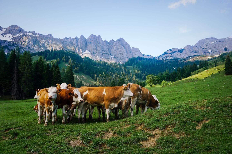 Kühe in Filzmoos, Dachstein, Österreich