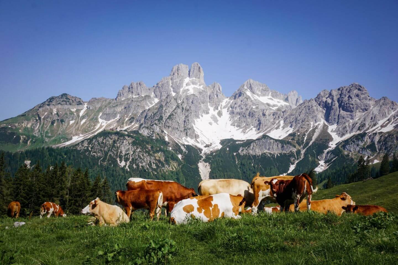 Bischofsmütze mit Kühen, Dachsteingebirge, Filzmoos, Salzburg
