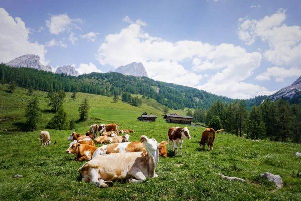 Kühe bei den Sulzenalmen, Filzmoos, Dachsteingebirge, Österreich