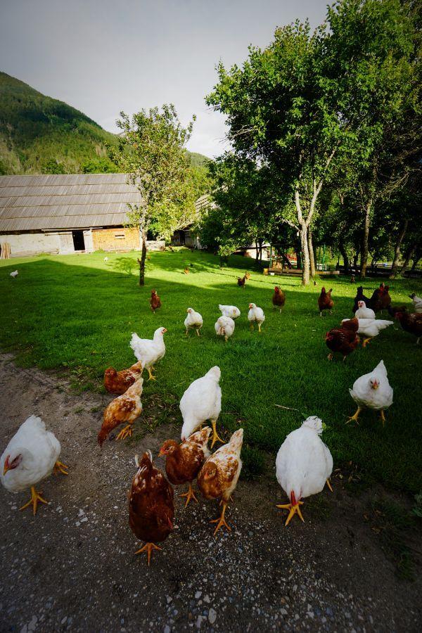 Šenkova domačija Farm chickens