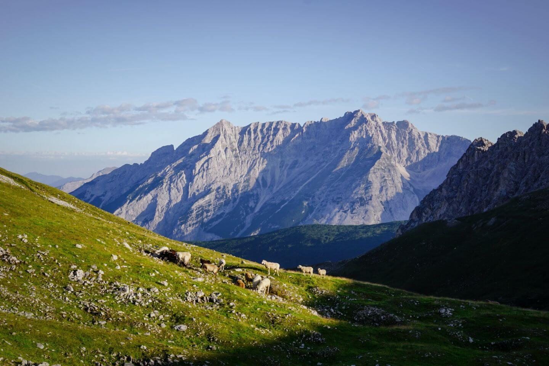 Naturpark Karwendel, grasende Schafe mit imposanter Bergkulisse