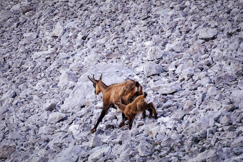 Chamois running across rugged slopes in the Karwendel Mountains, Austria