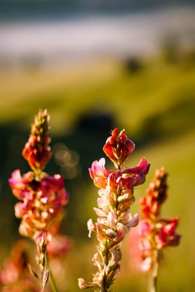 Alpe di Siusi Flowers, Dolomites, Italy