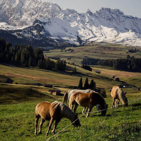 Alpe di Siusi grazing horses, Italy