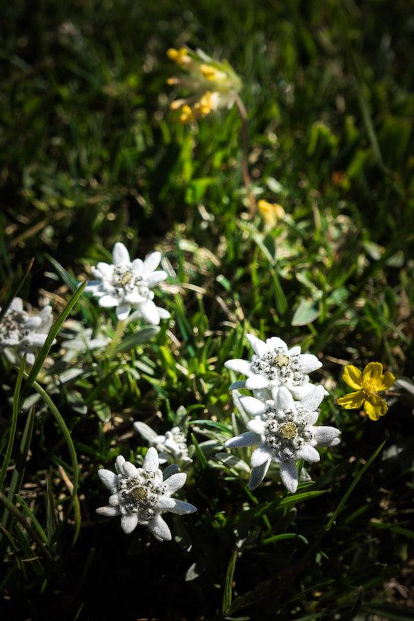 Edelweiss, Rodica, Julian Alps