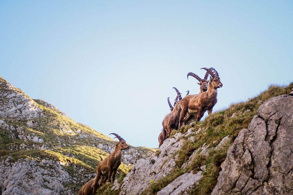 Alpine Ibex, Alps Hiking Guide