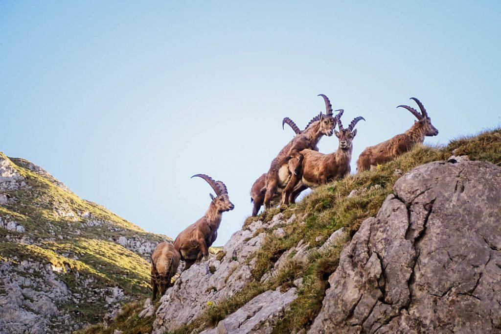Alpine Ibex, Hochschwab, Styria, Alps in Summer