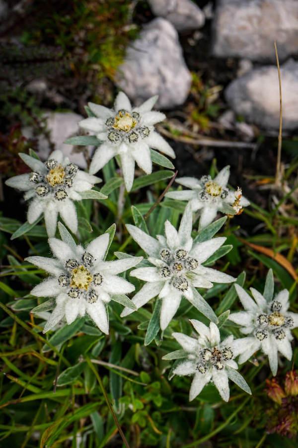 Edelweiss, Julian Alps