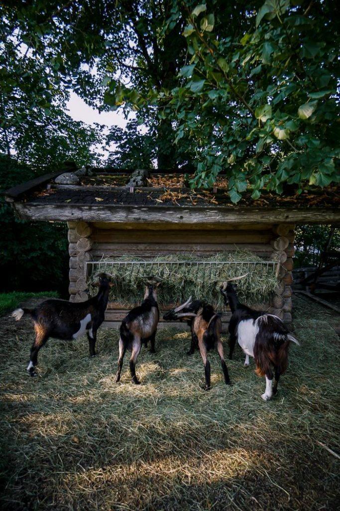 Goats at Hotel Gut Kramerhof, Gasteig, Austria