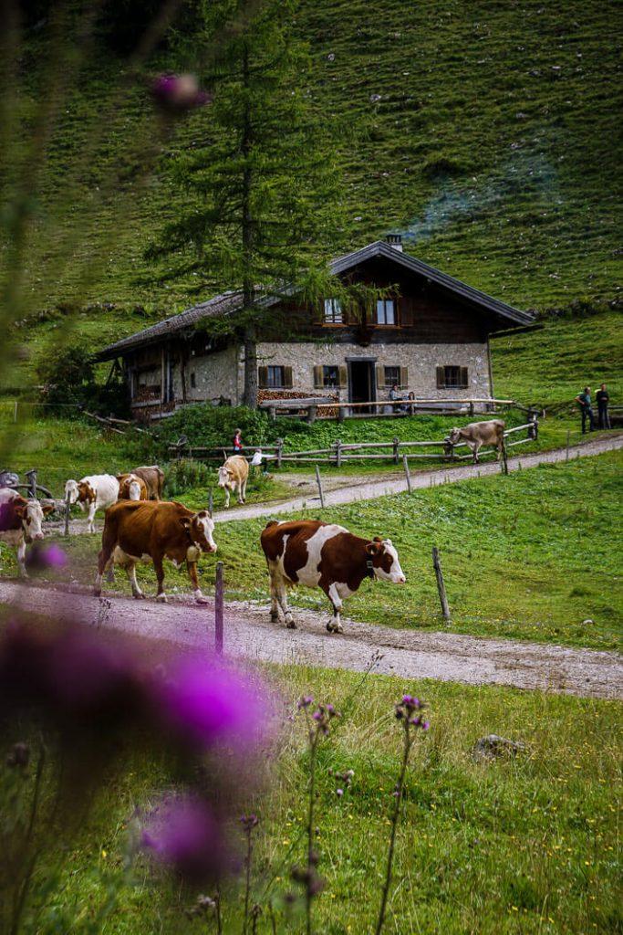 Steinbergalm Cattle, Wilder Kaiser, Austria