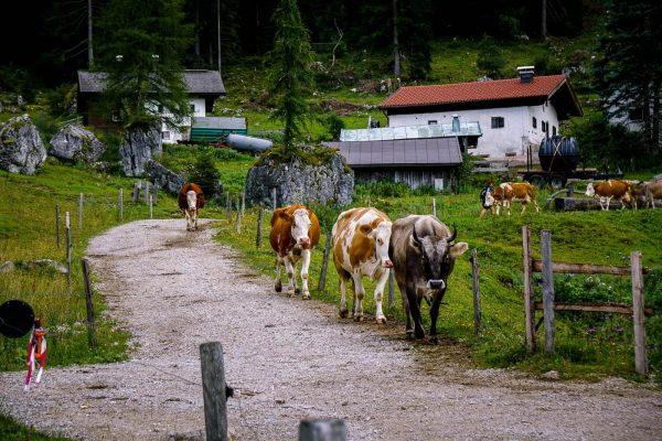 Steinbergalm, Wilder Kaiser, Tirol, Austria